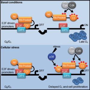 el-estres-celular-activa-una-importante-proteina-anticancerosa_image_380